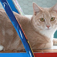 Domestic Shorthair Cat for adoption in St Louis, Missouri - Elsa