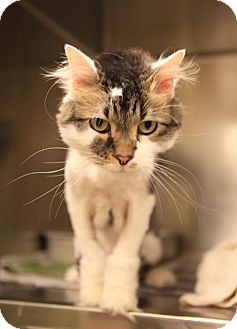 Domestic Longhair Cat for adoption in Chicago, Illinois - Chucho