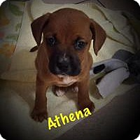 Adopt A Pet :: Athena - Marlton, NJ
