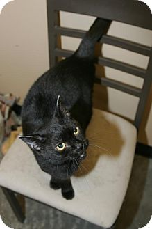 Domestic Shorthair Cat for adoption in Capshaw, Alabama - Lilly