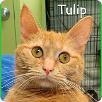 Adopt A Pet :: Tulip - Warren, PA