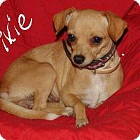 Adopt A Pet :: Pixie - Sussex, NJ