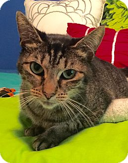 Domestic Shorthair Cat for adoption in Summerville, South Carolina - Tic Tac