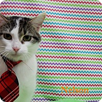 Domestic Shorthair Cat for adoption in Bucyrus, Ohio - Nelson