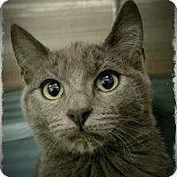 Domestic Shorthair Cat for adoption in Pueblo West, Colorado - Xanadu