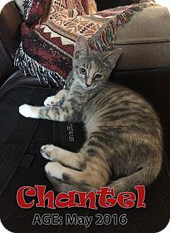 Domestic Shorthair Kitten for adoption in Chandler, Arizona - Chantel