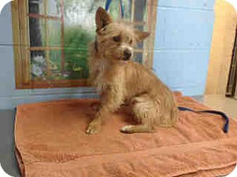 Terrier (Unknown Type, Small) Mix Dog for adoption in San Bernardino, California - URGENT on 10/19 SAN BERNARDINO