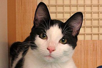 Domestic Shorthair Cat for adoption in Durham, North Carolina - Lucky Luke