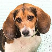Adopt A Pet :: Kola - Westfield, NY