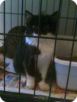 Manx Cat for adoption in Alliance, Ohio - Manx - Adoption Pending