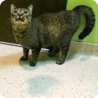 Domestic Shorthair Cat for adoption in Janesville, Wisconsin - Mirabelle