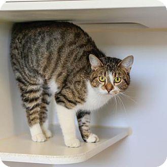Domestic Mediumhair Cat for adoption in Staunton, Virginia - Momma