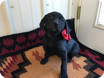 Labrador Retriever/Catahoula Leopard Dog Mix Puppy for adoption in Franklin, Tennessee - PUPPY CONNIE