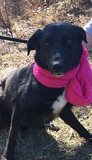 Labrador Retriever/Border Collie Mix Dog for adoption in Jefferson, Texas - Jazzy