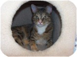 Domestic Shorthair Cat for adoption in El Cajon, California - Parmesan