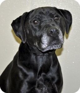 Labrador Retriever Mix Dog for adoption in Port Washington, New York - Colette