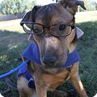 Adopt A Pet :: Munchkin - Christiana, TN