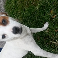 Jack Russell Terrier Mix Dog for adoption in Prestonsburg, Kentucky - jaycee