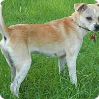 Chihuahua Mix Dog for adoption in Huntsville, Missouri - Boomer