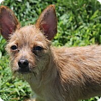 Terrier (Unknown Type, Small) Mix Puppy for adoption in Lodi, California - Melody