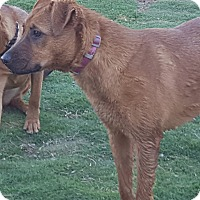 Pointer/Shepherd (Unknown Type) Mix Puppy for adoption in Las Cruces, New Mexico - Kylee