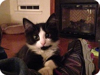 Domestic Mediumhair Kitten for adoption in Hollywood, Maryland - Viking