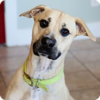 Adopt A Pet :: Sampson - St. Charles, MO