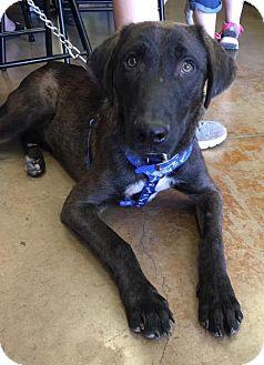 Labrador Retriever Mix Dog for adoption in Lawton, Oklahoma - JASPER