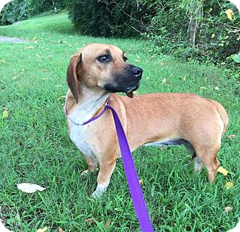 Beagle/Dachshund Mix Dog for adoption in Spring Valley, New York - Bessie (Reduced Fee)
