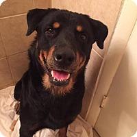 Rottweiler Mix Dog for adoption in Whitestone, New York - Sarge