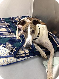 Greyhound Dog for adoption in Kansas City, Missouri - Manhatin