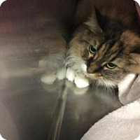 Domestic Longhair Cat for adoption in Janesville, Wisconsin - Beatrice