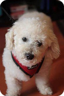 Poodle (Miniature) Dog for adoption in Portland, Oregon - Oliver