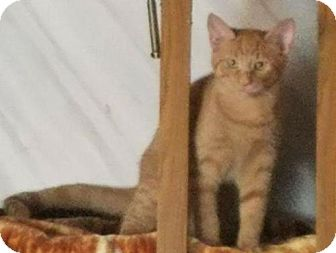 Maine Coon Kitten for adoption in Surprise, Arizona - Buddy