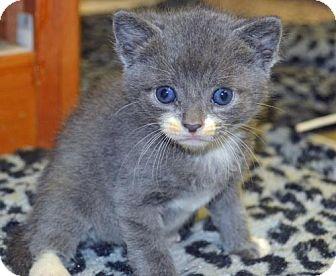 Domestic Shorthair Kitten for adoption in Alpharetta, Georgia - Ramrod