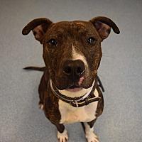 Adopt A Pet :: Maci - Bay Shore, NY