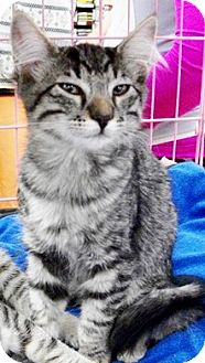 Domestic Shorthair Kitten for adoption in Castro Valley, California - Fuzzy