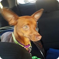 Miniature Pinscher/Chihuahua Mix Dog for adoption in Mission, Kansas - Mole Rat