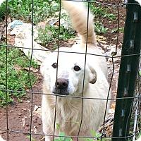 Adopt A Pet :: Snowball - URGENT!!! - Clarksville, TN