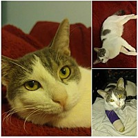 Domestic Shorthair Cat for adoption in Tampa, Florida - Paulie