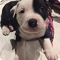 Adopt A Pet :: White and Black Pup Male - Concord, OH