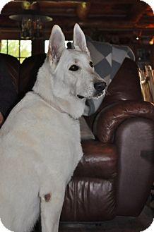 German Shepherd Dog Dog for adoption in Hamilton, Montana - Angel
