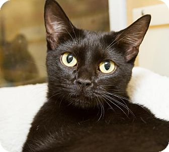 Domestic Shorthair Cat for adoption in Irvine, California - Jasmine