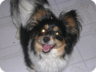 Papillon Dog for adoption in Laingsburg, Michigan - Joy