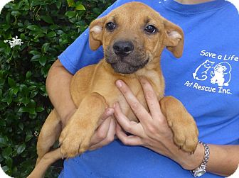 Rhodesian Ridgeback/Labrador Retriever Mix Puppy for adoption in ...