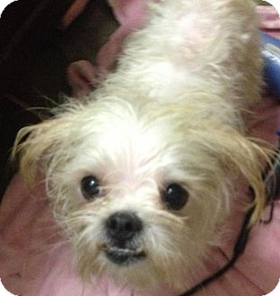 Maltese Shih Tzu Mix For Sale Shih tzu/maltese mix dog for
