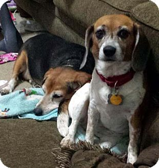 Beagle Dog for adoption in Houston, Texas - Tiffany - cute!