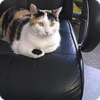 Adopt A Pet :: Victoria (front declawed) - Sterling Hgts, MI
