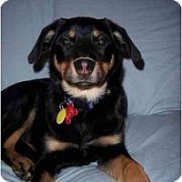 Adopt A Pet :: Sweet Pea (Flagstaff) - Scottsdale, AZ