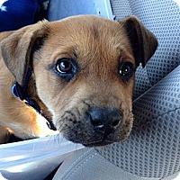 Adopt A Pet :: Spirit - Knoxville, TN